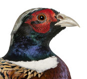 Close up of Male American Common Pheasant Royalty Free Stock Images