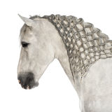 Close-up of a Male Andalusian with plaited mane, 7 years old, also known as the Pure Spanish Horse or PRE. Against white background royalty free stock photography
