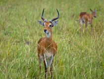 Close-up of a male antelope. Standing on the grass Stock Image