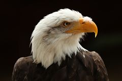 Close up of a male Bald Eagle against black background Royalty Free Stock Images