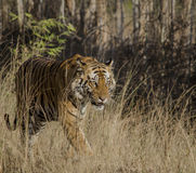 A close up of a Male Bengal Tiger walking through tall grass Royalty Free Stock Images