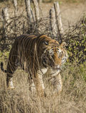 A close up of a Male Bengal Tiger walking through tall grass Stock Photos