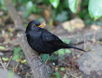 Close up of a male Blackbird Royalty Free Stock Photography
