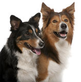 Close-up of Male Border Collie Stock Photography