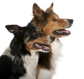 Close-up of Male Border Collie, 7 years old Royalty Free Stock Images