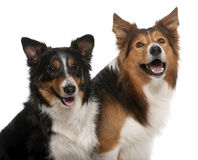 Close-up of Male Border Collie, 7 years old Stock Photo