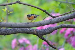Brambling. The close-up of a male Brambling stands on branch. Scientific name: Fringilla montifringilla royalty free stock photo