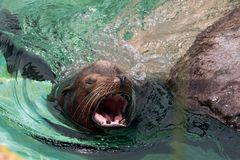 Close up of male California sea lion swimming. And roaring in the water Royalty Free Stock Photography