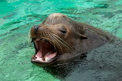 Close up of male California sea lion swimming. And roaring in the water Stock Photo