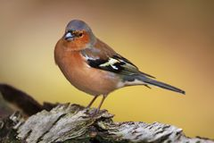 Close-up of a male Common Chaffinch perching on a tree trunk, Scotland, UK Fotografia Stock Libera da Diritti