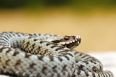 Close up of male common crossed viper Royalty Free Stock Photo