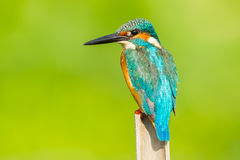 Close up of Male Common kingfisher Stock Photography