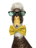Close-up of a Male Crested Ducks wearing glasses and a bow tie Stock Photos