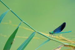 Damselfly. The close-up of a male damselfly on reed stem. Scientific name: Mnais mneme Royalty Free Stock Image