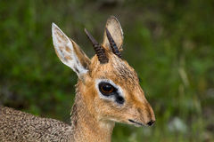 Close up of a male dik-dik antelope Royalty Free Stock Photos