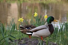 Close up of a male duck in grass with daffodils along the edge of pool. Royalty Free Stock Photos
