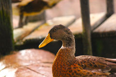 Close-up of a male Duck. Mallard Ducks. Seated Duck Animals in the Wild Royalty Free Stock Image