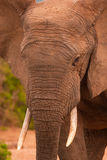 Close up of a male elephant royalty free stock photos