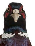 Close up of Male European Common Pheasant Stock Photo