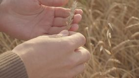 Close up of male farmers hands holding and examining wheat ears in field stock video