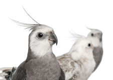 Close-up of Male and female Cockatiel, Nymphicus Royalty Free Stock Image
