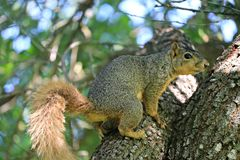 A close up of a male fox squirrel on the limb of a large oak tree. A close up of a male fox squirrel on the limb of a large oak tree in the forest, near a park Stock Photos