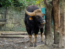 Close up of Male Gaur Royalty Free Stock Image