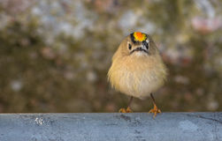 Close-up of a male Goldcrest Royalty Free Stock Image