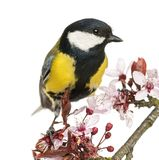 Close-up of a Male great tit perched on a flowering branch, Parus major. Isolated on white royalty free stock images