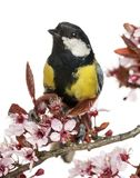 Close-up of a male great tit perched on a flowering branch, Parus major. Isolated on white stock photos