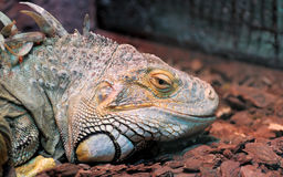 Close-up of a male Green Iguana Stock Photography