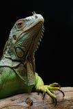 Close-up of a male Green Iguana (Iguana iguana). Royalty Free Stock Images