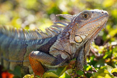 Close-up of a male Green Iguana Royalty Free Stock Photos