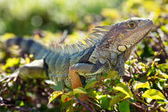 Close-up of a male Green Iguana Stock Photo
