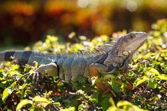 Close-up of a male Green Iguana in it's natural Royalty Free Stock Photography