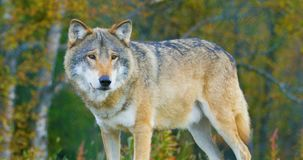 Close-up of a large male grey wolf stands in the forest