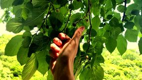 Close-up. male hand picks mulberries off a tree stock footage