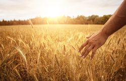 Close up of male hand in the wheat field Royalty Free Stock Image