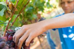 Close-up male hands picking bunch of red grapes stock photography