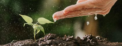 Close up of male hands watering young tree on soil. Growing seed and planting concept, Banner with copyspace. royalty free stock photos