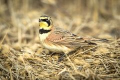 Male Horned Lark in dry grass. Stock Photography