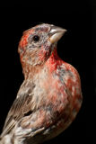 Close Up of a Male House Finch Royalty Free Stock Photos