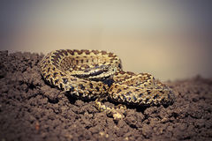 Close up of male hungarian meadow adder. Ready to strike Vipera ursinii rakosiensis stock photography