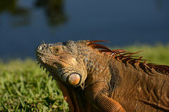 Close up of male iguana Stock Photography
