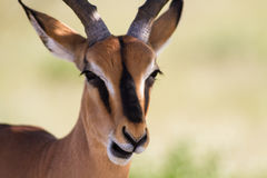 Close up of a male Impala Stock Photography
