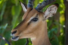 Close-up of male impala with mouth open Royalty Free Stock Photography