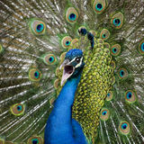 Close-up of Male Indian Peafowl displaying tail Royalty Free Stock Images