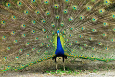 Close-up of Male Indian Peafowl Royalty Free Stock Images
