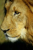 A close up of a male khalahari lion. As he walks past in Pumba reserve,easterbn cape, south africa Stock Images