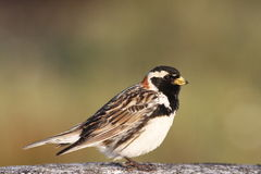 Close-up of Male Lapland Longspur (Calcarius lapponicus) Royalty Free Stock Image